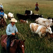 Wyoming Cattle Drives