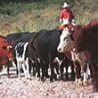 Arizona Cattle Drives