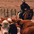 Idaho Cattle Drives